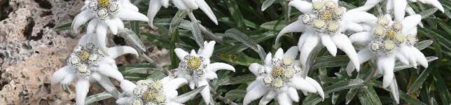 edelweiss-alpine-90-7004