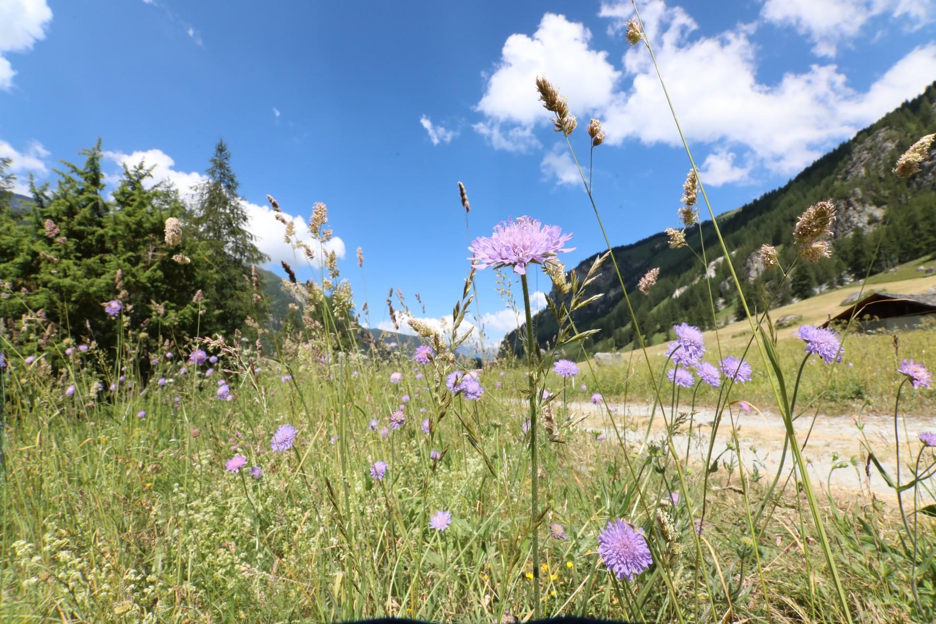 Ressourcez-vous au coeur d'une nature préservée - champs de fleurs les lanches - peisey-vallandry