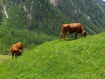 vaches-tarines-beaupraz-31-mai-08-mnpc-38-1139