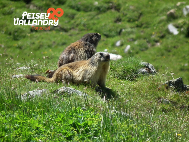 deux-marmottes-1117