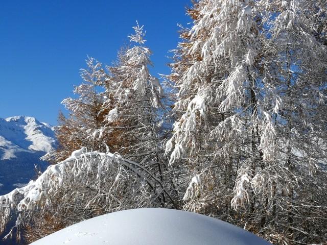 mélèzes chargés de neige