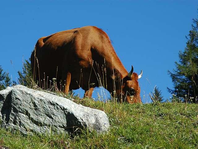 Beaufort d'alpage : vache tarine