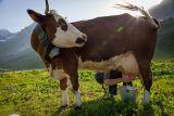 Refuge entre-le-lac : traite des vaches