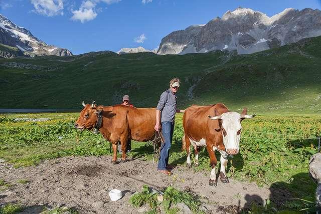 Refuge entre-le-lac : vaches en alpage