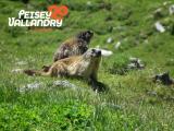 deux-marmottes-29637