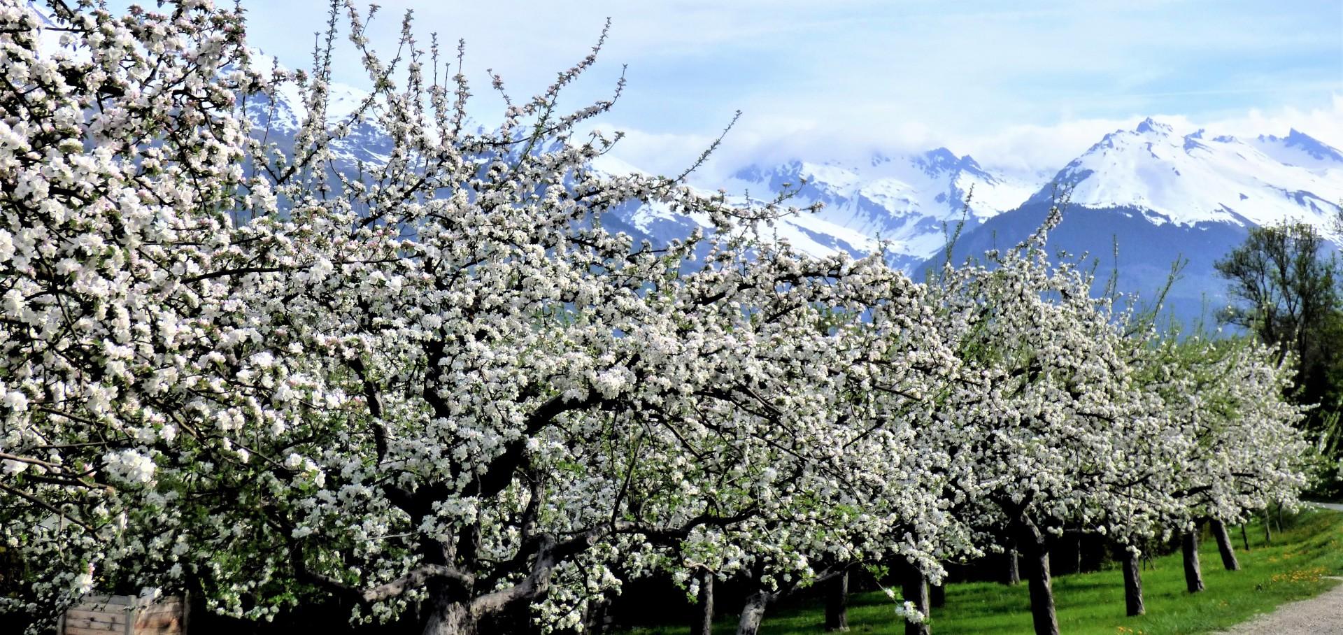 landry-pommiers-fleuris-avril-54056